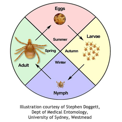 tick cycle
